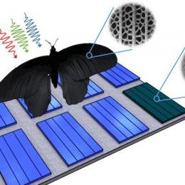 Nanostructures of the wing of Pachliopta aristolochiae can be transferred to solar cells and enhance their absorption rates by up to 200 percent. Image: Radwanul Siddique, KIT/Caltech